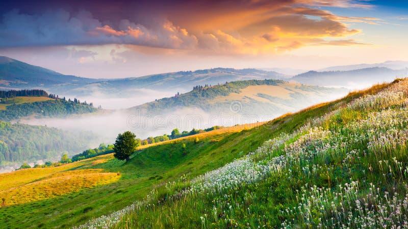 Blooming white flowers in the summer mountains. Colorful sunrise ion Borzhava ridge, Carpathian mountains, Ukraine, Europe royalty free stock photography