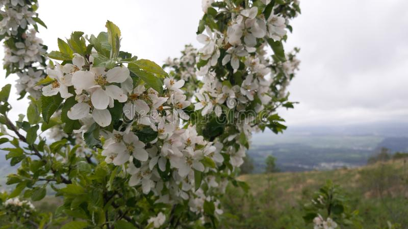 Blooming white flowers tree on the background of fields and hills. Walk in spring Park stock photography