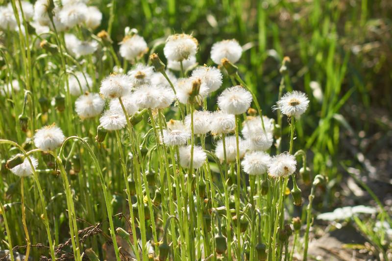 Blooming white fluffy coltsfoot fowers in the meadow.  royalty free stock photography