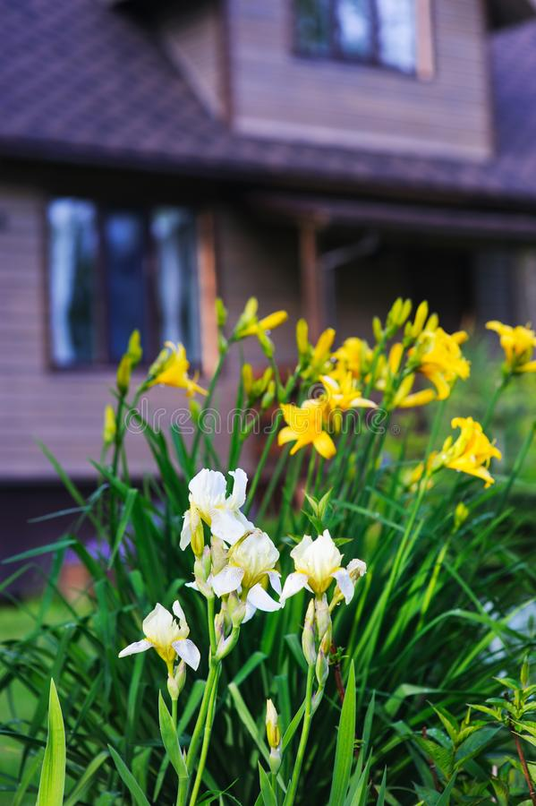 Blooming white irises and yellow day lily with wooden house. On background royalty free stock photo