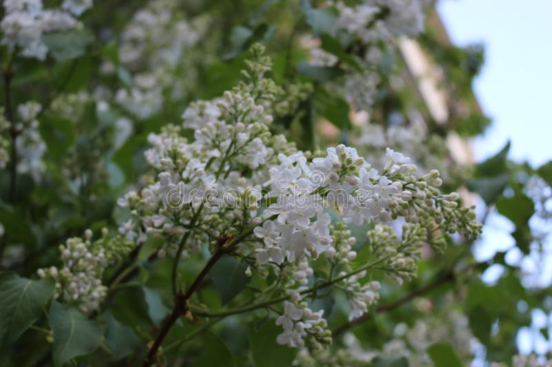 Blooming white lilac. Spring. A bush with beautiful flowers smells fragrant stock images