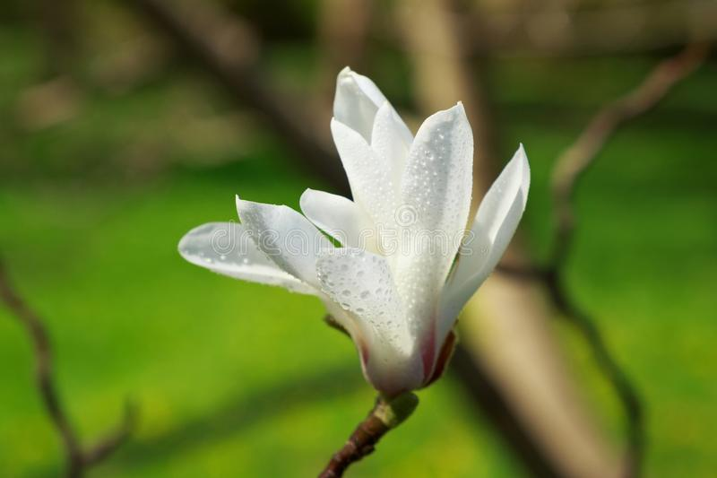 Blooming white Magnolia with dew drops in the garden. royalty free stock photography