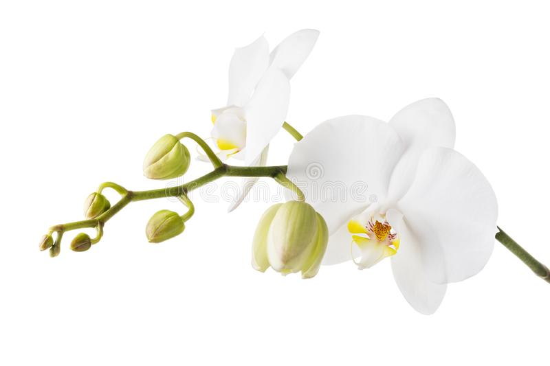 Blooming white orchid isolated from the background. Branch of beautiful blooming flowers stock image