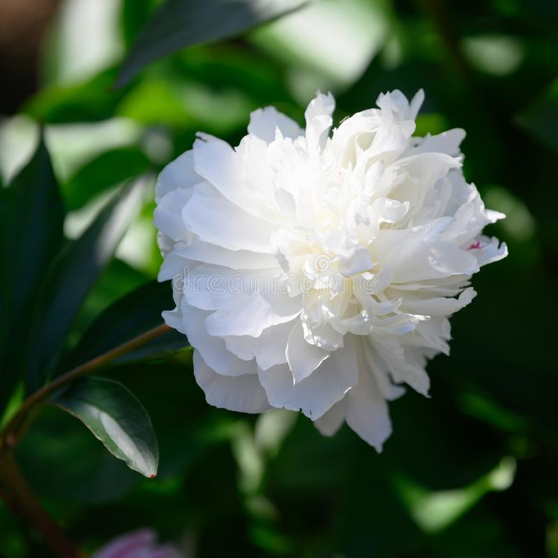 White peony - blooming white common peony - Paeonia officianles - flowering in garden at whitsun stock image