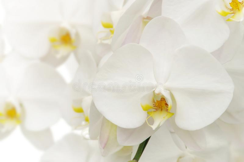 Blooming White Phalaenopsis Orchid Flowers on White Background royalty free stock photos