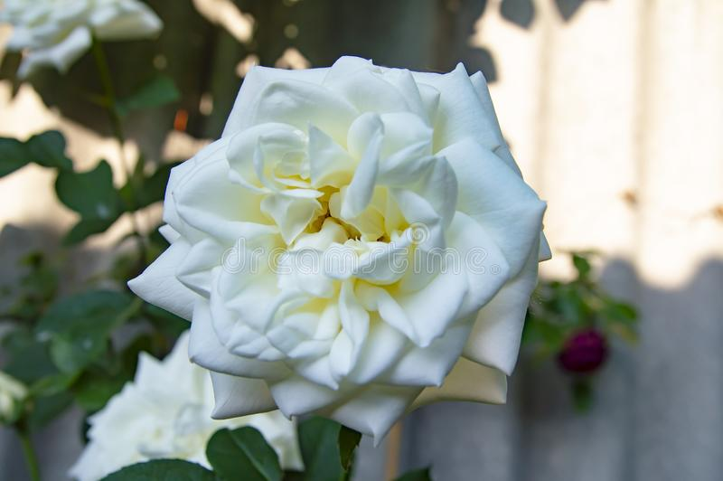 Blooming white rose flower - macro photo stock photography