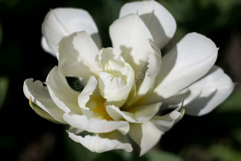 The blooming white tulip in the spring royalty free stock images