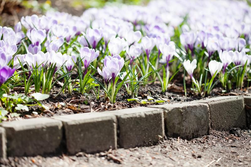 Blooming white violet crocuses flowers, soft blurry background. Spring time sunny day garden nature scene.  royalty free stock image