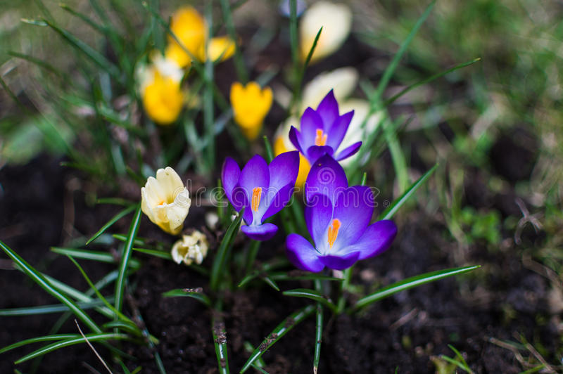 Blooming white, violet and yellow crocuses. royalty free stock photo