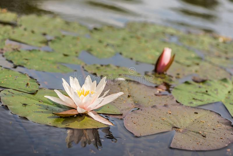 Blooming white water lilies flower in the lake. Beautiful blooming white water lilies flower in the lake stock photos