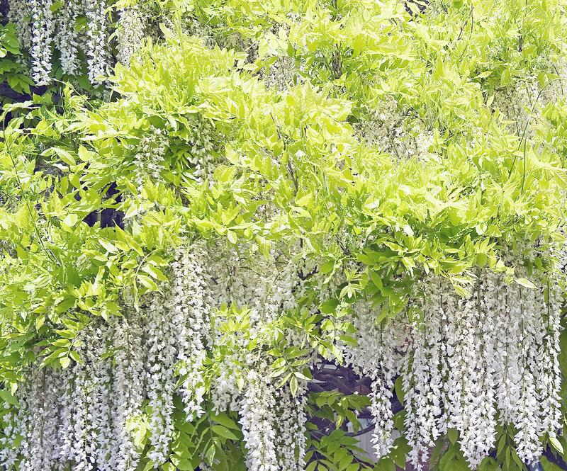 Blooming white wysteria royalty free stock photography