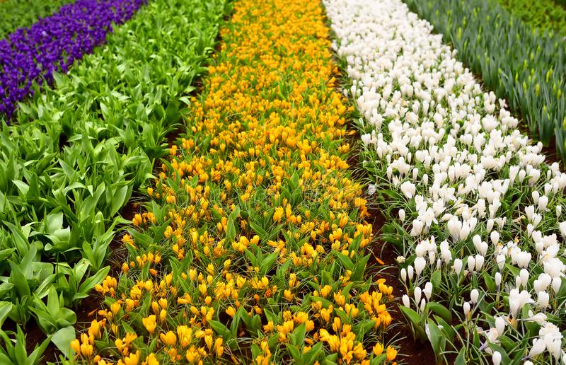 Blooming white, yellow and violet crocuses and buds of daffodils and tulips on flowerbed in in Keukenhof, Netherlands. Famous royalty free stock photos