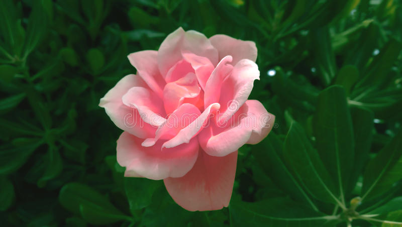 Blooming in the wild, beautiful large flower of pink roses. On the background of dark green foliage. Romance and tenderness royalty free stock images