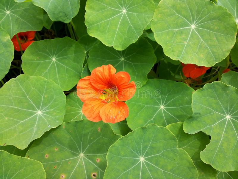 Blooming wild flower royalty free stock image