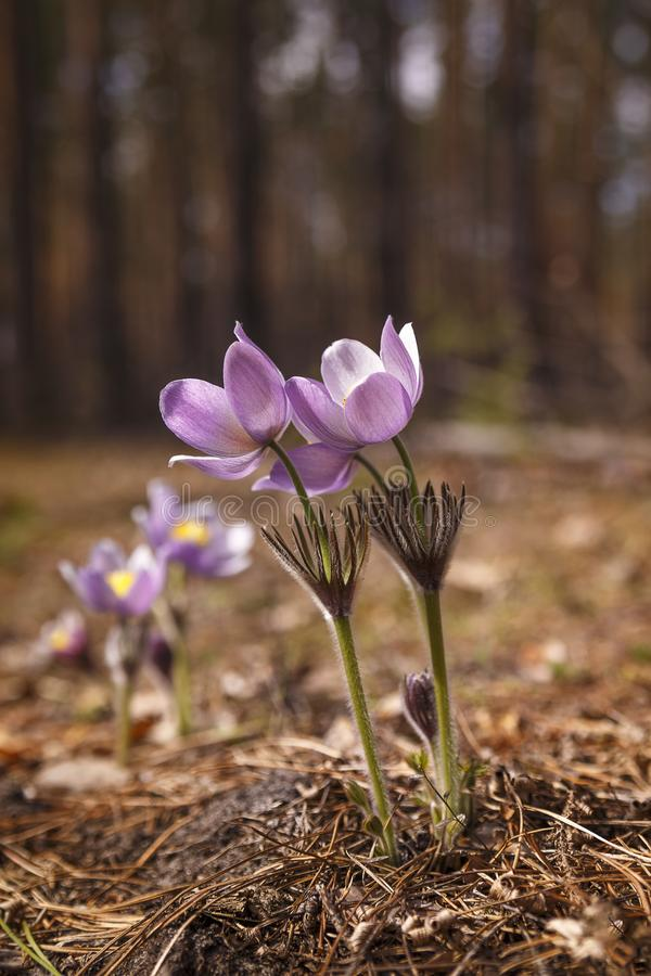 Blooming wild pasque-flowers in the forest meadow stock photography