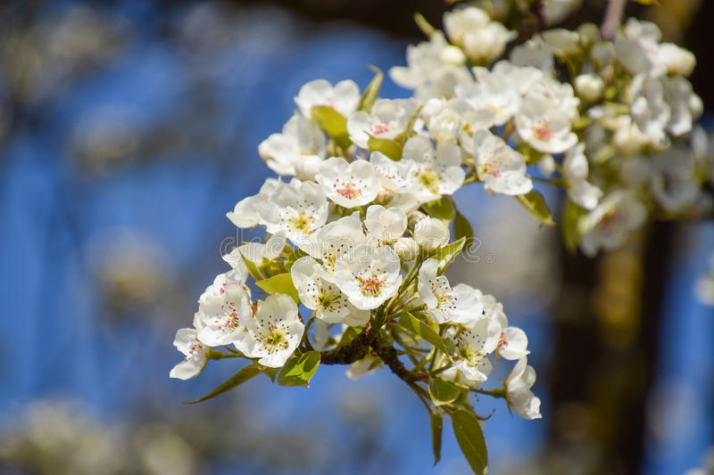 Blooming wild pear in the garden. Spring flowering trees. Pollination of flowers of pear stock photography