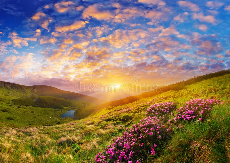 Blooming wild pink flowers and rising sun in highland. Breathtaking landscape with blossom of pink rhododendron over the mountain lake at sunrise stock images