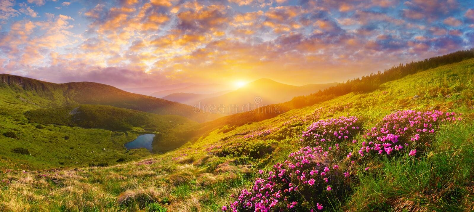 Blooming wild pink flowers and rising sun in highland. Breathtaking landscape with blossom of pink rhododendron over the mountain lake at sunrise stock image