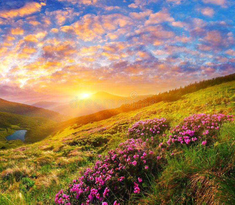 Blooming wild pink flowers and rising sun in highland. stock photo