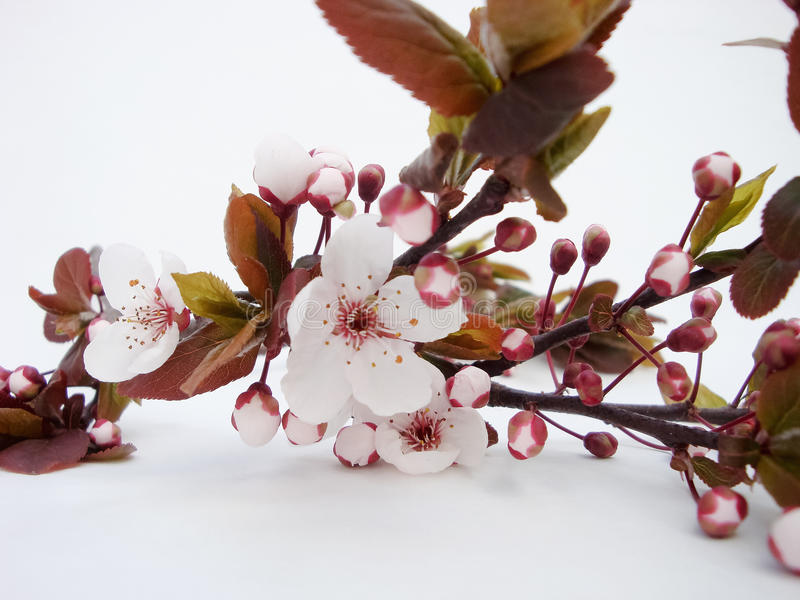 Blooming wild plum. Sprig on royalty free stock photo