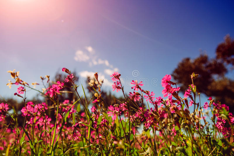 Blooming wildflowers. Natural blurred background. Fields of pink flowers in the sun.Natural blurred background. Soft light effect stock image