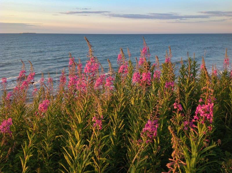 Blooming Willow herb Ivan tea at the baltic sea stock photos