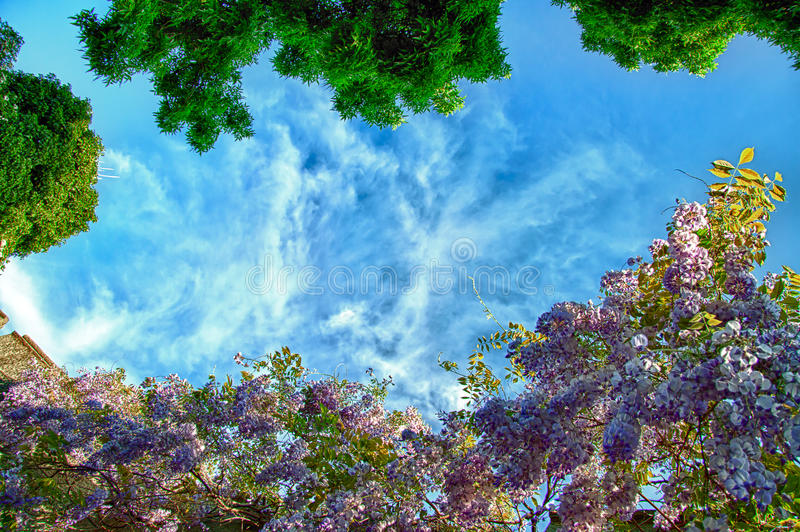 Blooming Wisteria stock photography