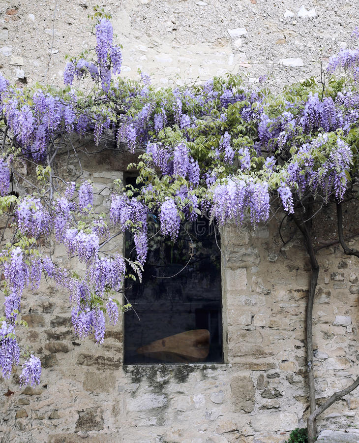 Blooming wisteria on ancient wall royalty free stock photos