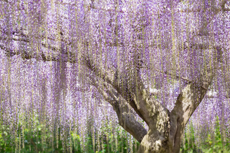 Blooming wisteria flower. Wisteria blooming in spring at Ashikaga flower park, Japan royalty free stock photos