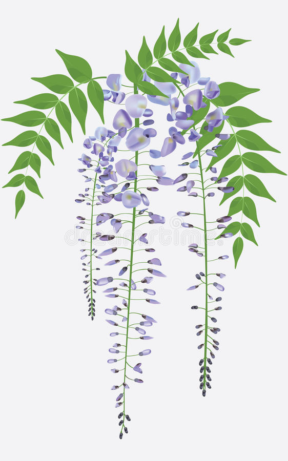 Blooming wisteria with leaves, vector stock photo