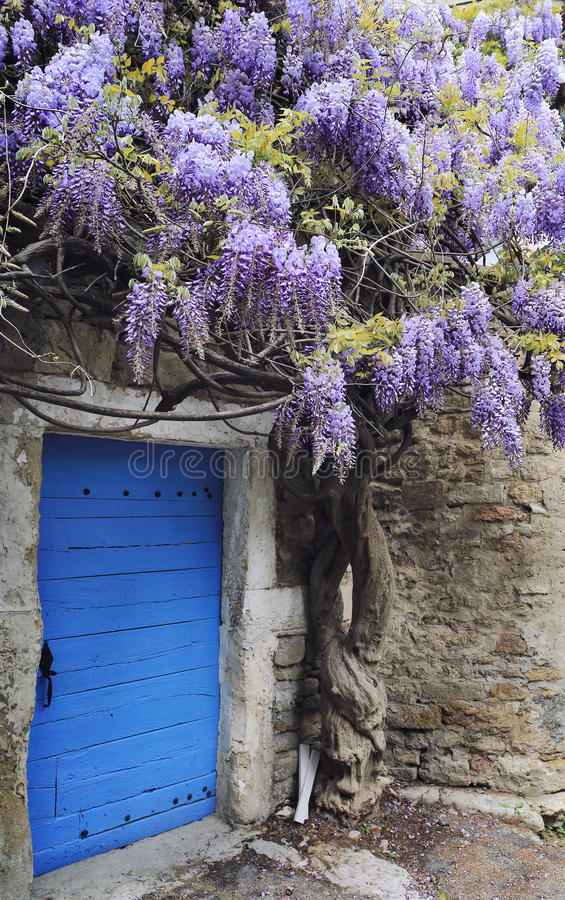 Blooming wisteria royalty free stock photography