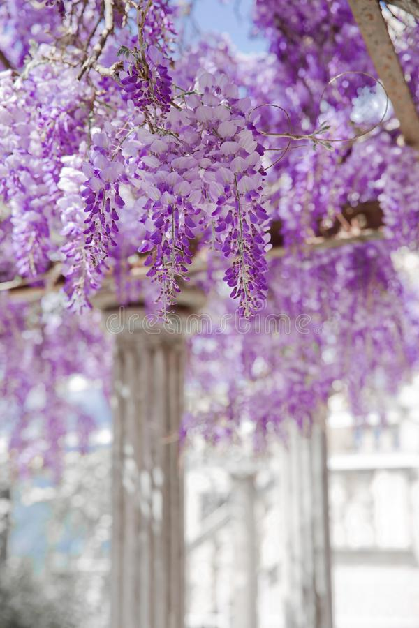 Blooming Wisteria violet flower with white column, spring purple. Park, natural lilac background stock images