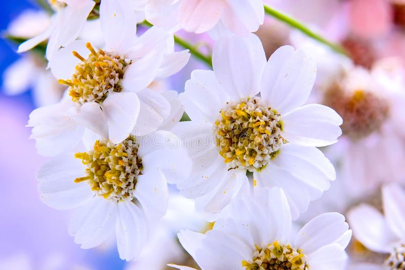 Blooming Yarrow stock photo