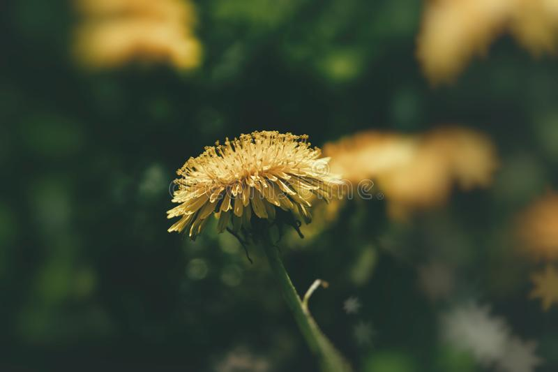 Blooming yellow dandelion flowers in the warm sun on a background of green lawn background. Beautiful blooming yellow dandelion flowers in the warm sun on a royalty free stock photography