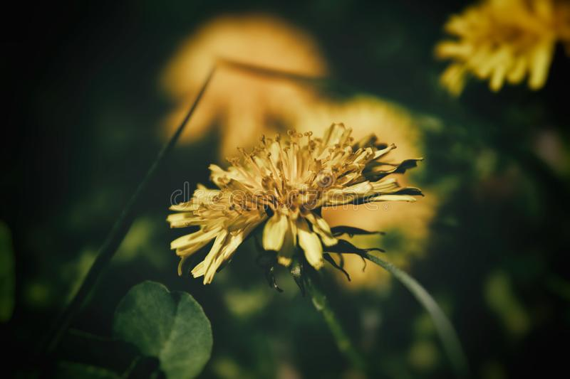 Blooming yellow dandelion flowers in the warm sun on a background of green lawn background. Beautiful blooming yellow dandelion flowers in the warm sun on a royalty free stock photos