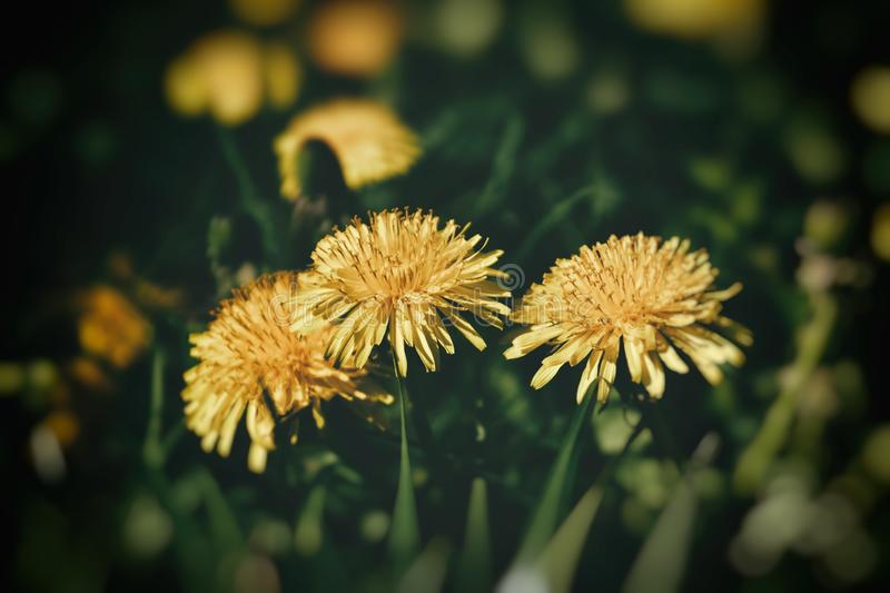 Blooming yellow dandelion flowers in the warm sun on a background of green lawn background. Beautiful blooming yellow dandelion flowers in the warm sun on a royalty free stock image