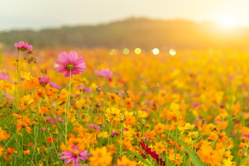 Blooming yellow flower in the garden, Cosmos field. In Thailand on spring and summer royalty free stock photos
