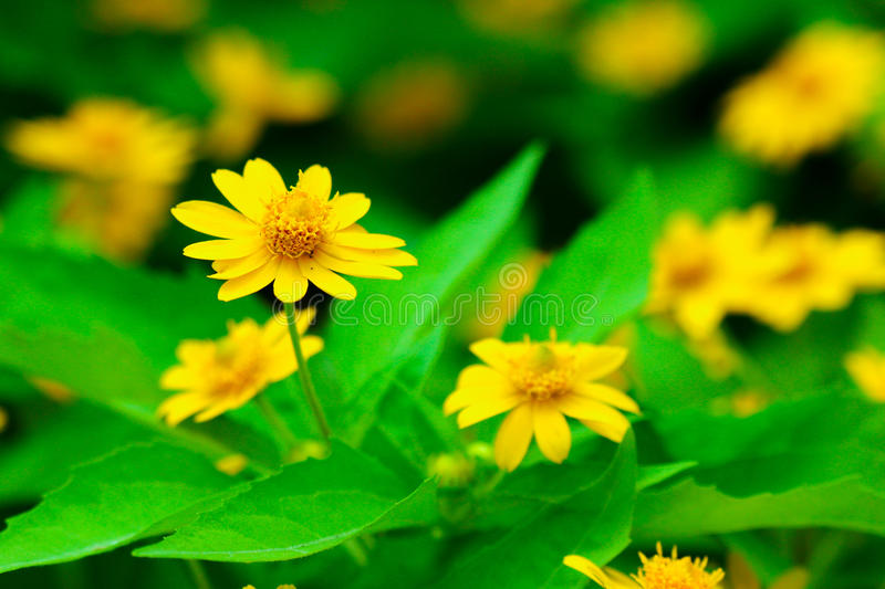 Download Blooming yellow flowers stock photo. Image of green, greenery - 27618206