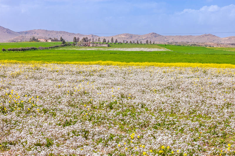 Blooming yellow flowers field of beautiful Moroccan landscape with mountains in summer. stock photos