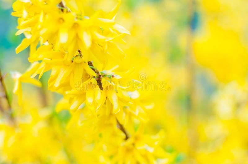 Blooming yellow flowers of Forsythia plant in the olive family Oleaceae royalty free stock image