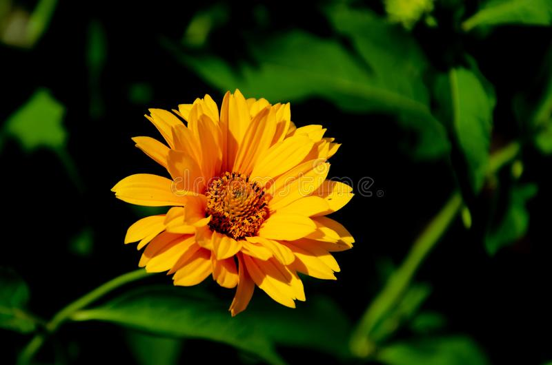 Blooming yellow flowers in summer garden royalty free stock photo
