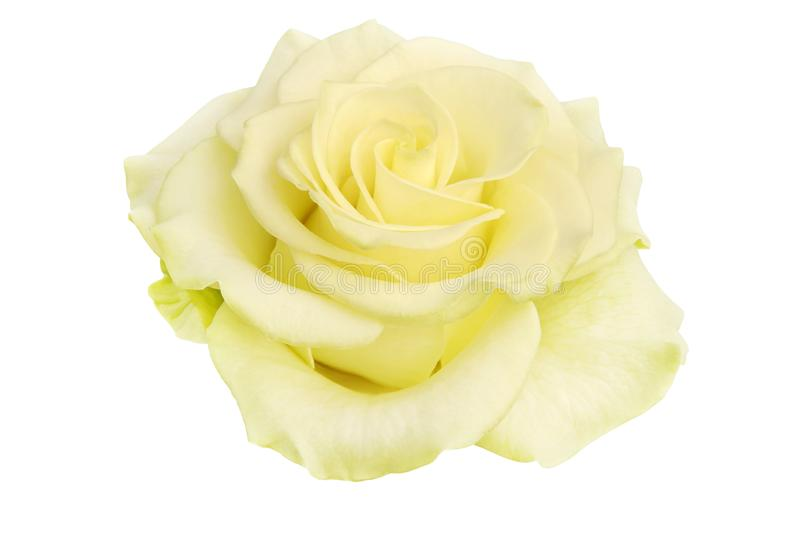 Blooming Yellow Green Rose 'Wasabi' Isolated on White Background stock image