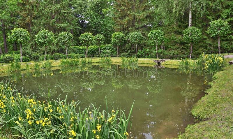 Blooming yellow marsh iris pseudacorus on the pond shore royalty free stock photography
