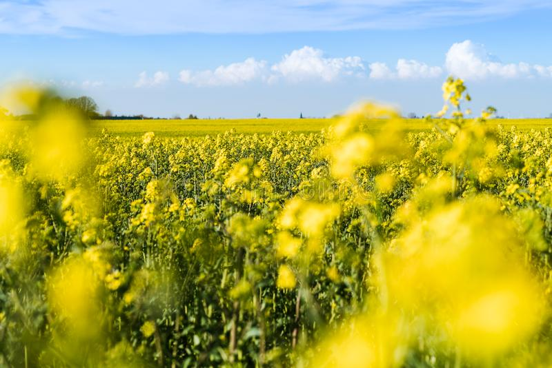 Blooming yellow rapeseed field stock photos