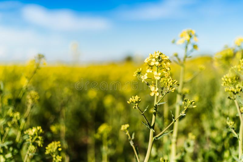 Blooming yellow rapeseed field royalty free stock photo
