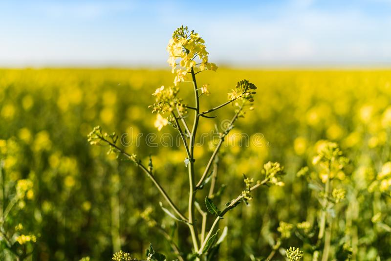 Blooming yellow rapeseed field stock image
