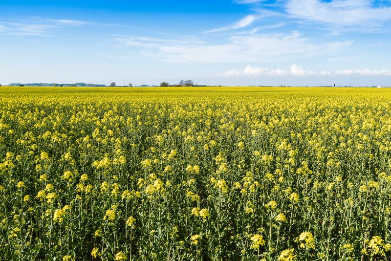 Blooming yellow rapeseed field royalty free stock image