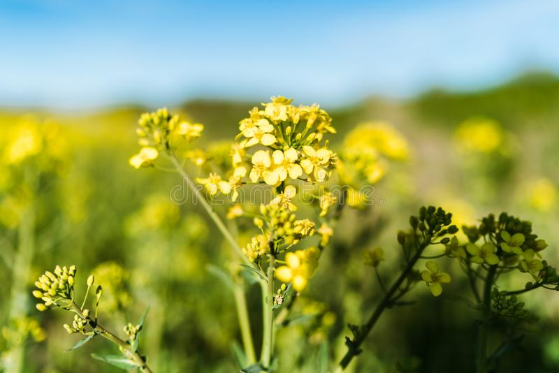Blooming yellow rapeseed field stock images