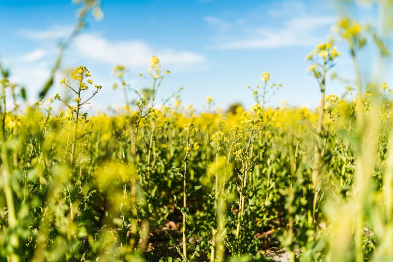 Blooming yellow rapeseed field royalty free stock photos