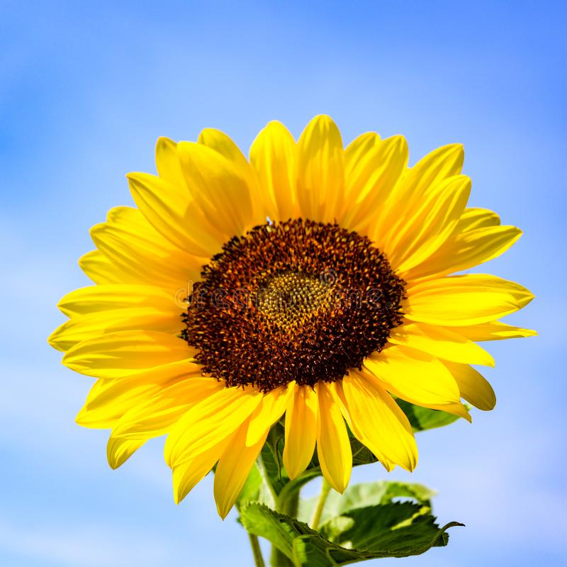 Sunflower head in full bloom. Sunflower flowering on bright summer day with blue sky royalty free stock image